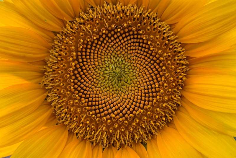goldener schnitt in der natur sonnenblume